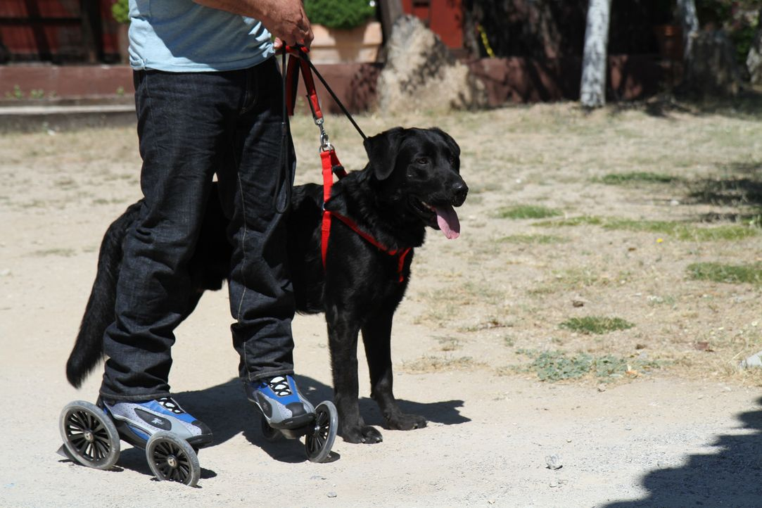 Der widerspenstige Labrador-Mischling Jet reist mit Cesar Millan nach Spanien, um dort seine möglichen Adoptiveltern kennenzulernen ... - Bildquelle: Belén Ruiz Lanzas 360 Powwow, LLC / Belén Ruiz Lanzas