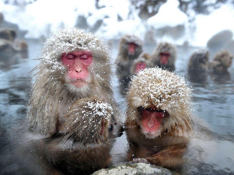 Japanische-wilde-Affen-AFP - Bildquelle: AFP