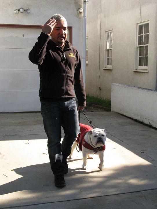 Englische Bulldoggen muss man einfach liebhaben, oder? Cesar besucht heute Hugo in Santa Barbara. Das Tier zeigt sich äußerst aggressiv und böswilli... - Bildquelle: Neal Tyler MPH - Emery/Sumner Joint Venture
