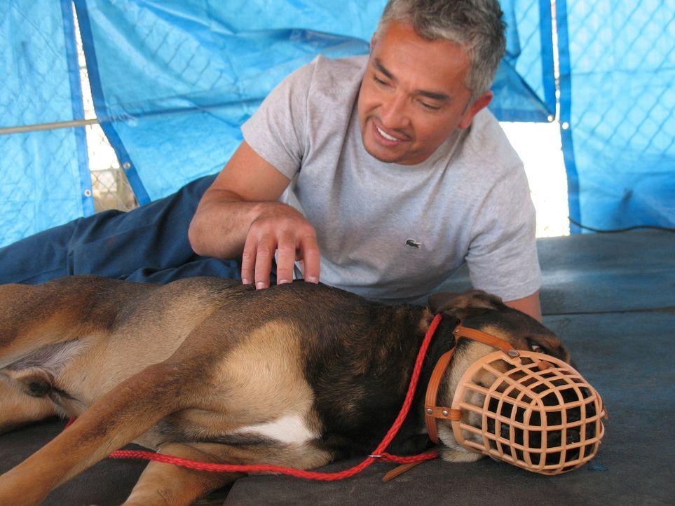Heute kümmert sich der Hundeflüsterer Cesar Millan unter anderem um Argy, einen zwei Jahre alten englischen Bulldogge-Labrador-Mischling ... - Bildquelle: Rive Gauche Intern. Television