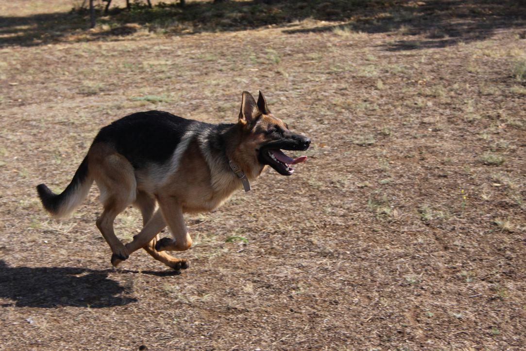 Mojo ist ein aktiver Schäferhund-Welpe, der eine ziemliche Unordnung hinterlässt. Er ist schwer vermittelbar, da er von potentiellen Besitzern oft a... - Bildquelle: Belén Ruiz Lanzas 360 Powwow, LLC / Belén Ruiz Lanzas