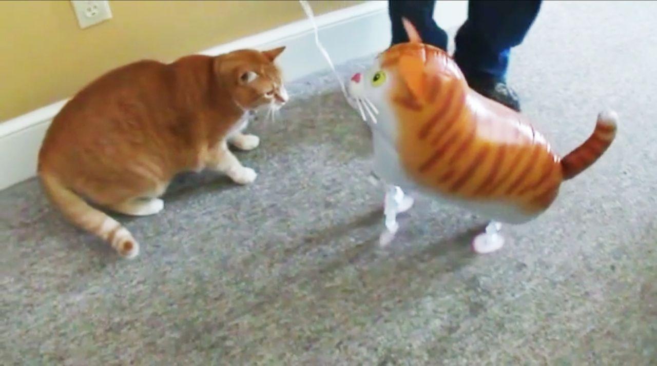 """""""Jetzt wird's tierisch"""" bringt die lustigsten Katzenvideos auf den Bildschirm, die die Besitzer von ihren Lieblingen aufgenommen haben ... - Bildquelle: sixx"""