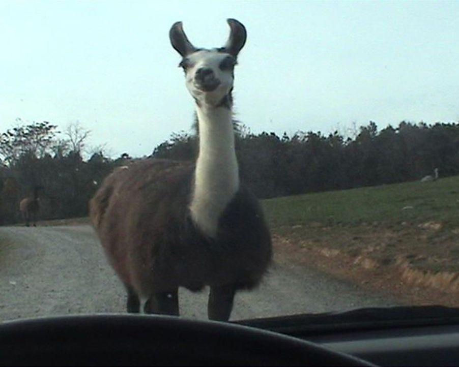 Sie sehen aus wie gutmutige, friedliche Tiere, doch mit ihren Spuckattacken, schlagen Lamas so manchen Urlauber in die Flucht. - Bildquelle: 2010, The Travel Channel, L.L.C.