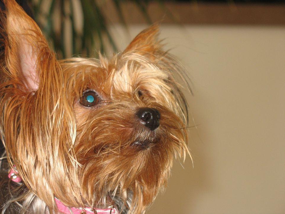 Die US-amerikanische Schauspielerin Julie Brown und ihr Ehemann haben für ihre 12-jährige Tochter den Yorkshire Terrier Candy gekauft. Wie viele neu... - Bildquelle: Rive Gauche Intern. Television