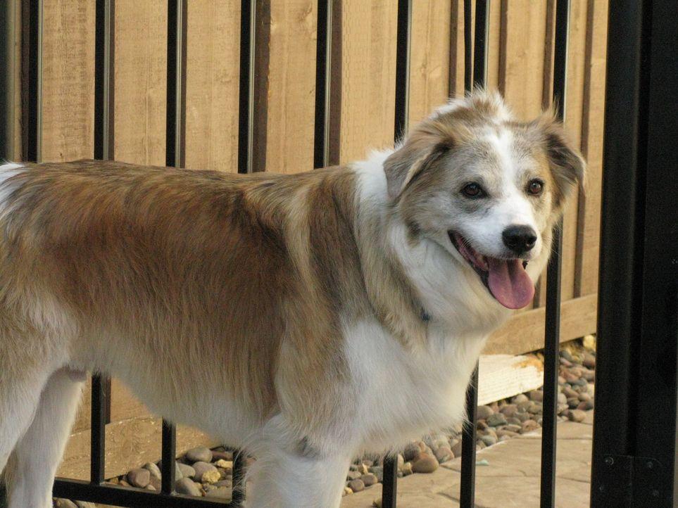 Als der australische Schäferhund Snickers im zarten Alter von zehn Wochen zu Donna kam, war es Liebe auf den ersten Blick. Seit die beiden jedoch be...