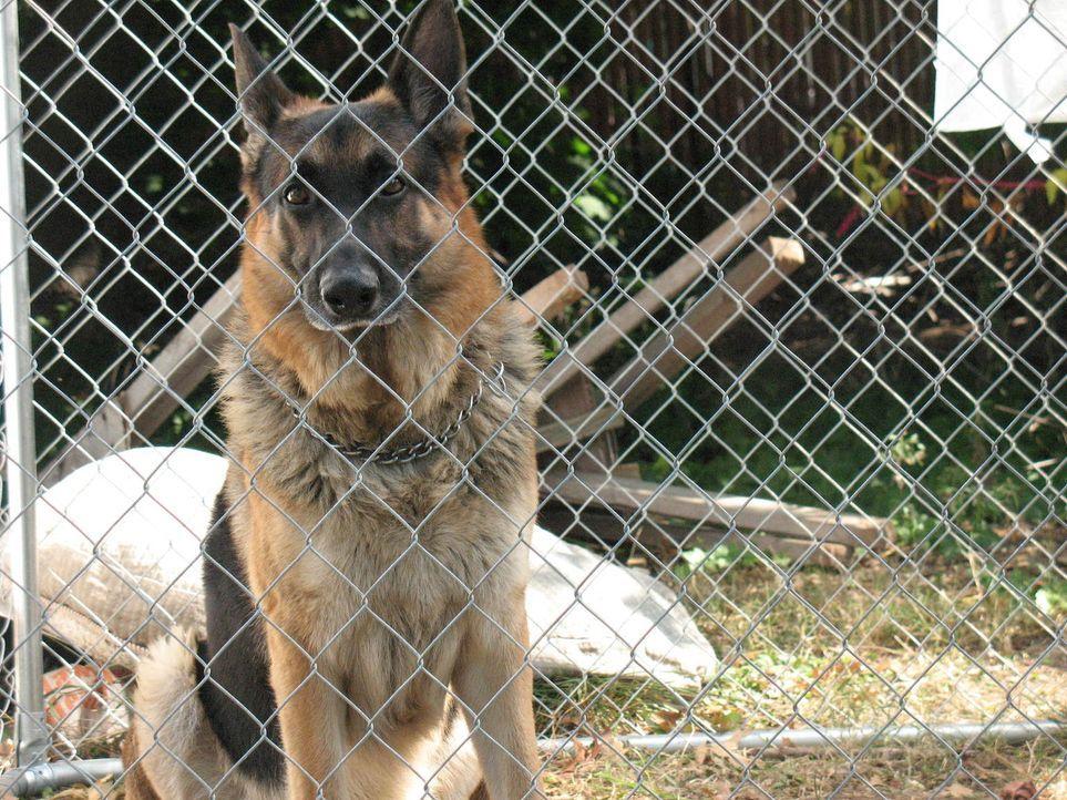 Der Schäferhund Joey verhält sich plötzlich auffallend aggressiv und das sogar seinen eigenen Besitzern gegenüber ... - Bildquelle: Rive Gauche Intern. Television