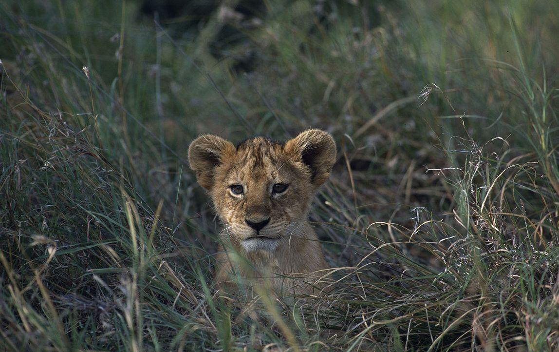 Allein und verlassen kann der kleine Fleck in der Wildnis nicht überleben. Da lernt er Macheeba und ihre Kinder kennen ... - Bildquelle: John Downer John Downer Productions Ltd