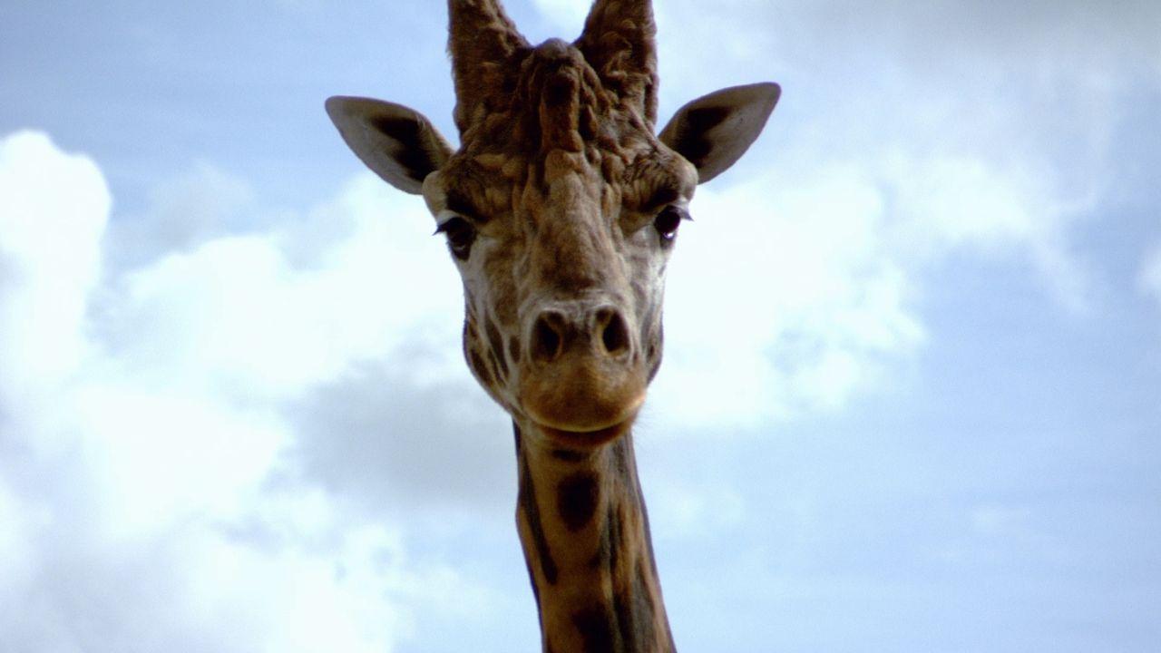 Cat besucht eine Giraffe im Tierpark. Das Tier hat Probleme mit einem seiner... - Bildquelle: True North