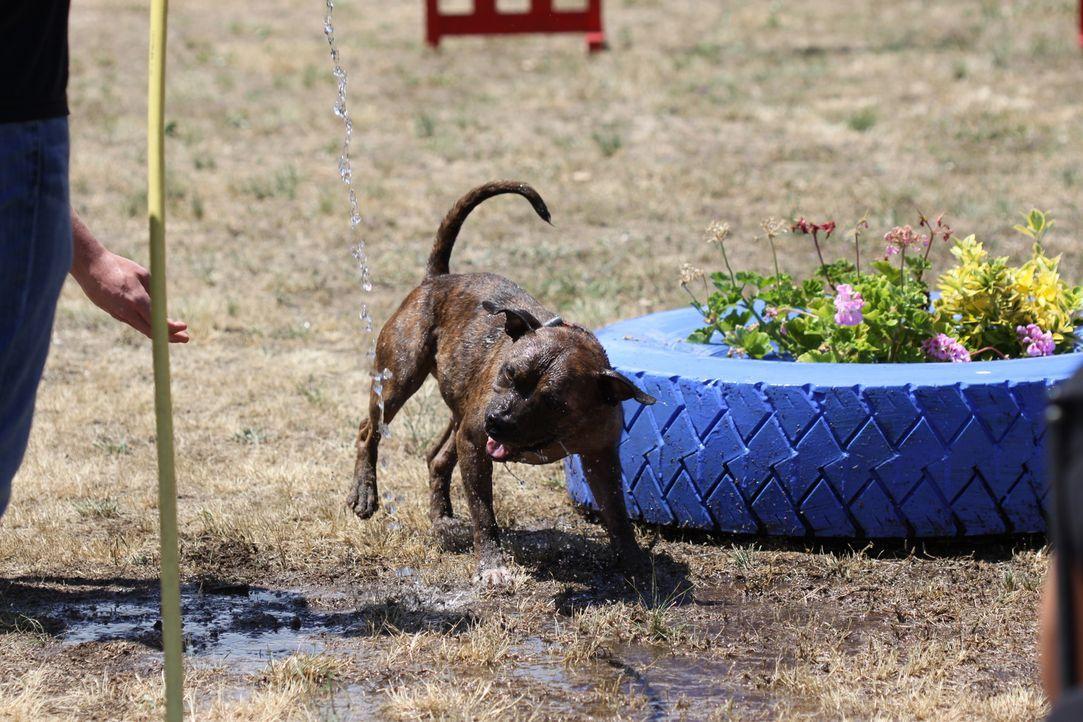 Spielerische Aufgaben mit Wasser gefallen sogar der liebenswerten Hündin Rosie ... - Bildquelle: Belén Ruiz Lanzas 360 Powwow, LLC / Belén Ruiz Lanzas