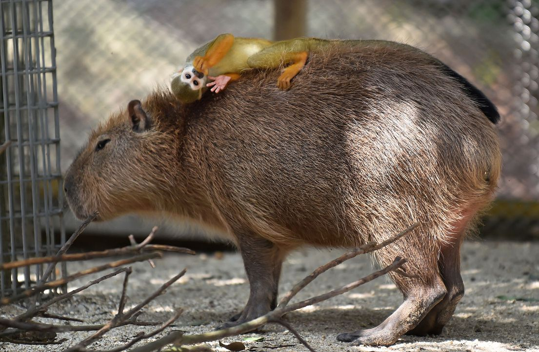 Affe-Wasserschwein-AFP - Bildquelle: AFP
