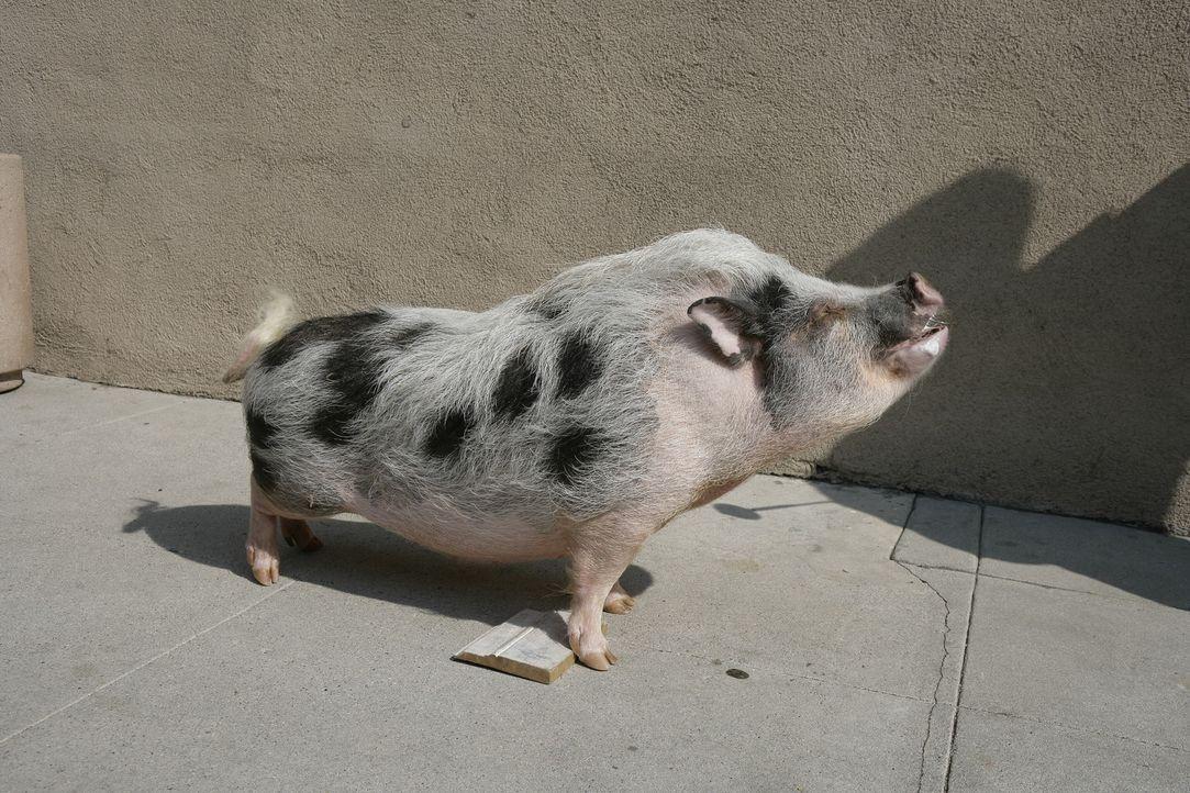 Hat das Trüffelschwein Pigby etwas mit dem Tod von Schwester Larue zu tun? - Bildquelle: Warner Brothers