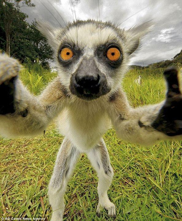 Lemuren-Selfie - Bildquelle: Caters News Agency