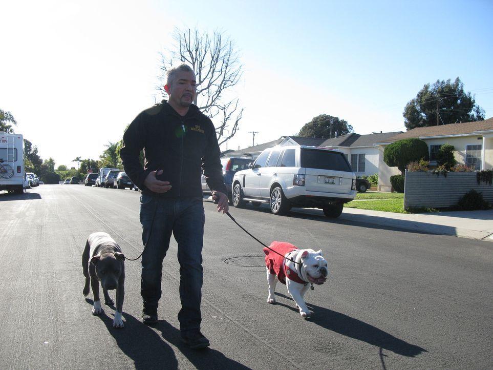Englische Bulldoggen muss man einfach liebhaben, oder? Cesar hat es heute mit weniger liebenswerten Exemplaren zu tun ... - Bildquelle: Neal Tyler MPH - Emery/Sumner Joint Venture