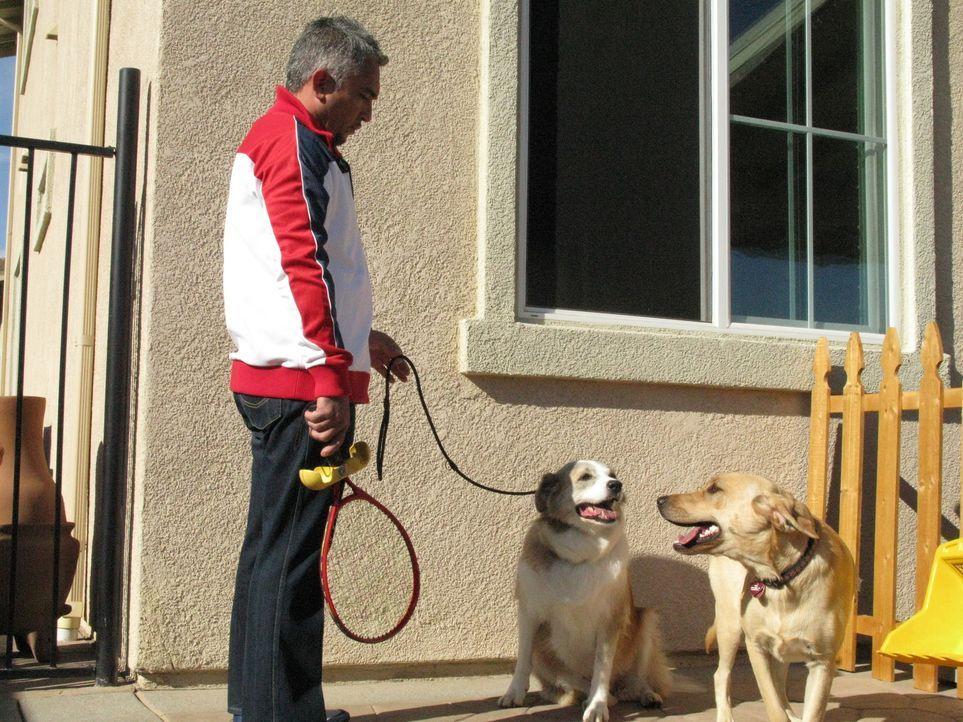 Snickers greift jeden Hund an, der ihm entgegenkommt und schnappt sogar nach der Hand, die ihn füttert. Ein Fall für Cesar Millan ...