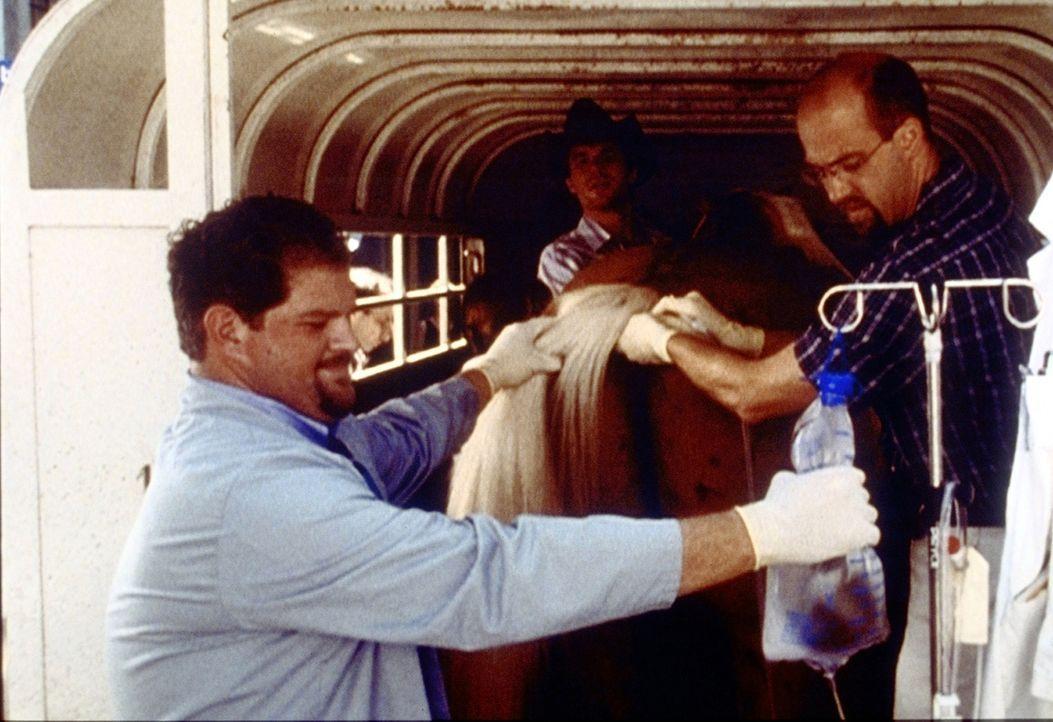 Greene (Anthony Edwards, r.) hat kurzfristig das Fach gewechselt. Gemeinsam mit Jerry (Abraham Benrubi, l.) behandelt er ein Pferd, das an einer Kol... - Bildquelle: TM+  2000 WARNER BROS.