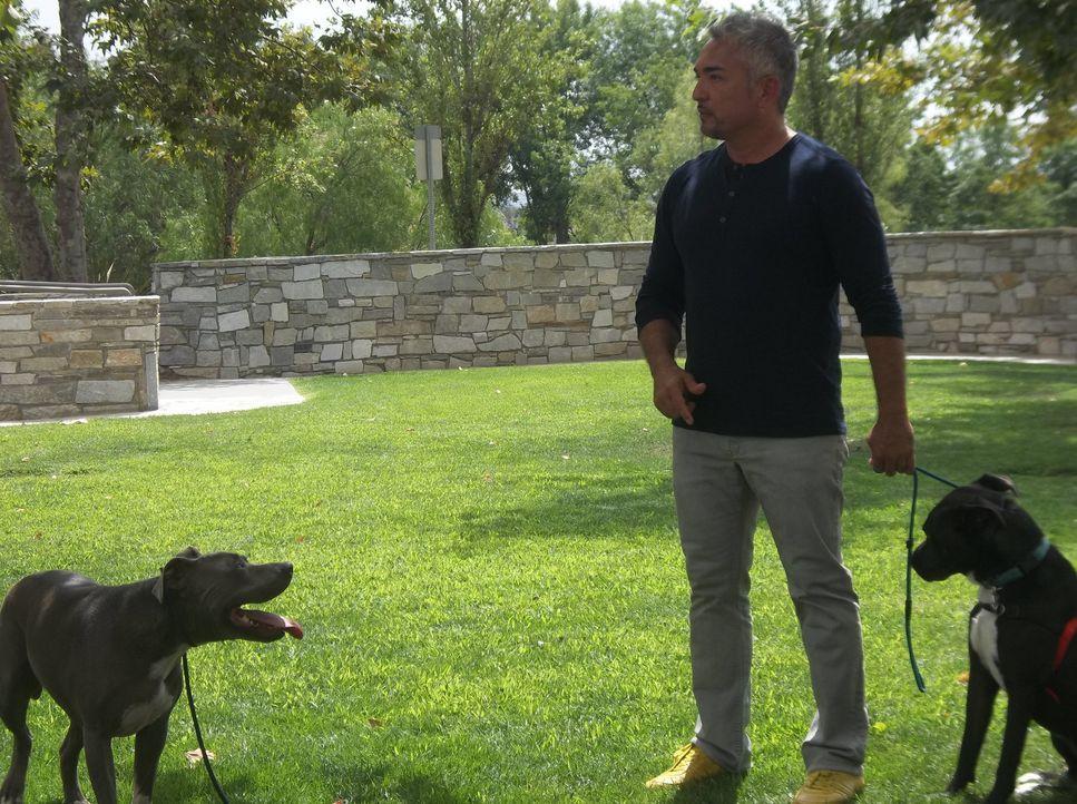 Nachdem Tosh eine Nachbarin angegriffen hat, wird Cesar zu Hilfe gerufen und schnell zeigt sich, was wirklich die Gründe für die Aggressionen des Hu... - Bildquelle: NGC/ ITV Studios Ltd