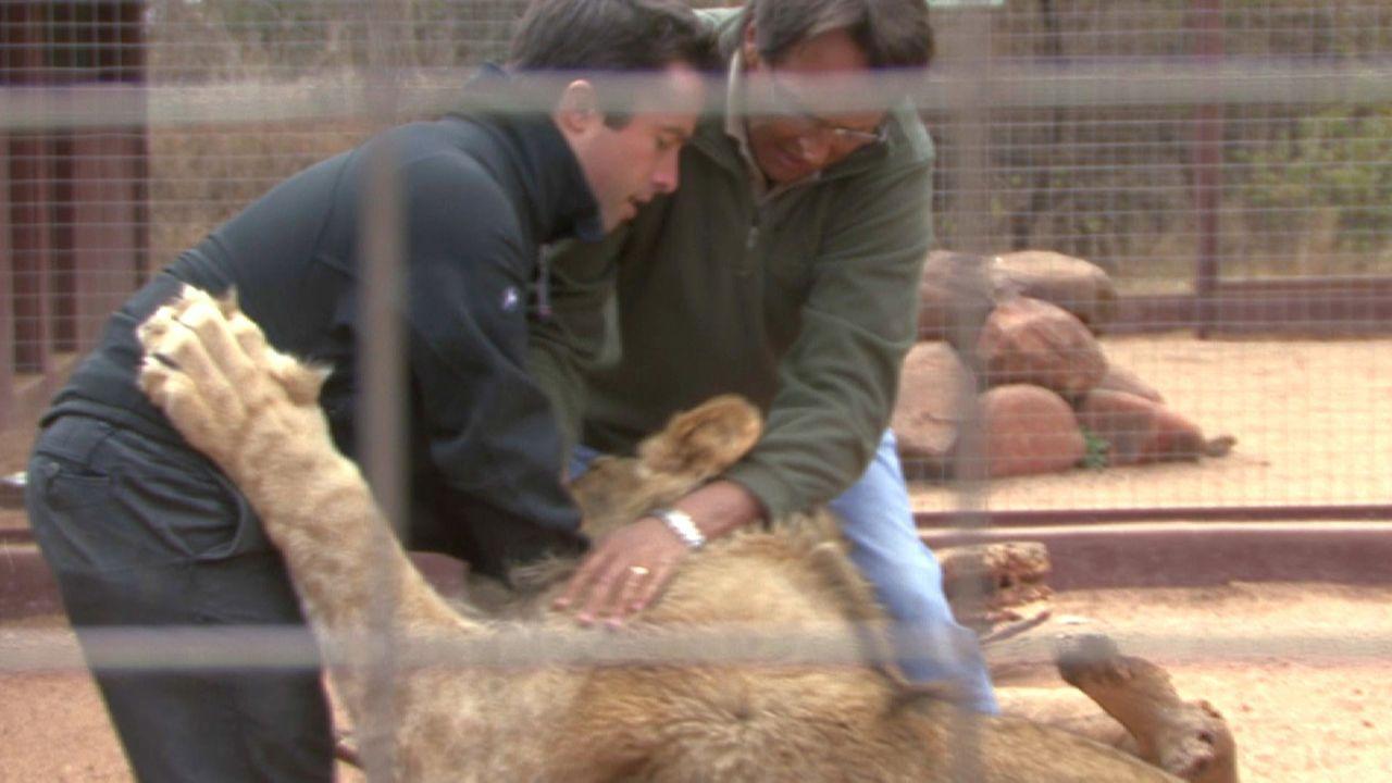 Kampf mit einem Raubtier: Alsder britische Journalist Charlie Starmer-Smith (l.) während eines Drehs von einem Löwen angegriffen wird, lässt das Tie... - Bildquelle: 2011, The Travel Channel, All Rights Reserved.