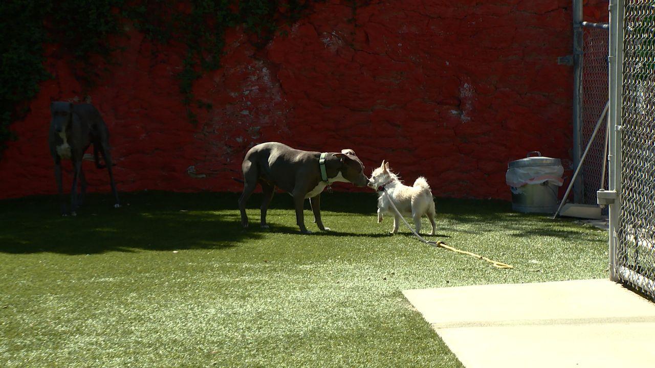Cesar erkennt bei seiner Zusammenarbeit mit dem Terrier-Chihuahua-Mischling Target, dass dieser eher ängstlich ist und darum gereizt auf Katy reagie... - Bildquelle: NGC/ ITV Studios Ltd