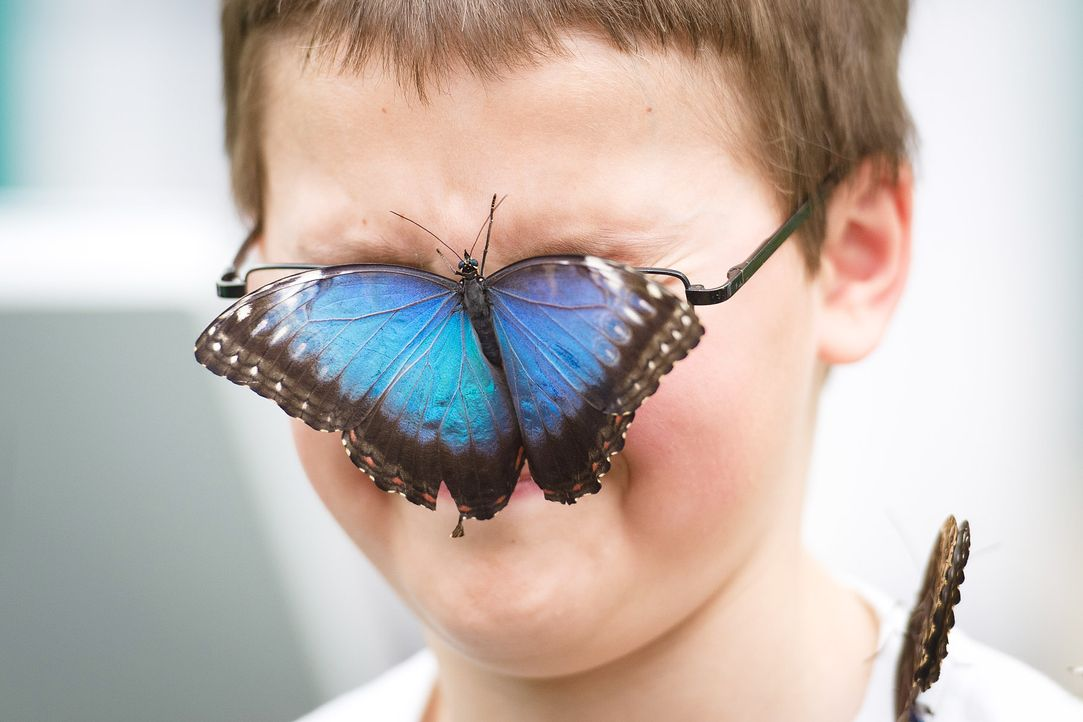Blue-Morpho-Schmetterling-AFP - Bildquelle: AFP