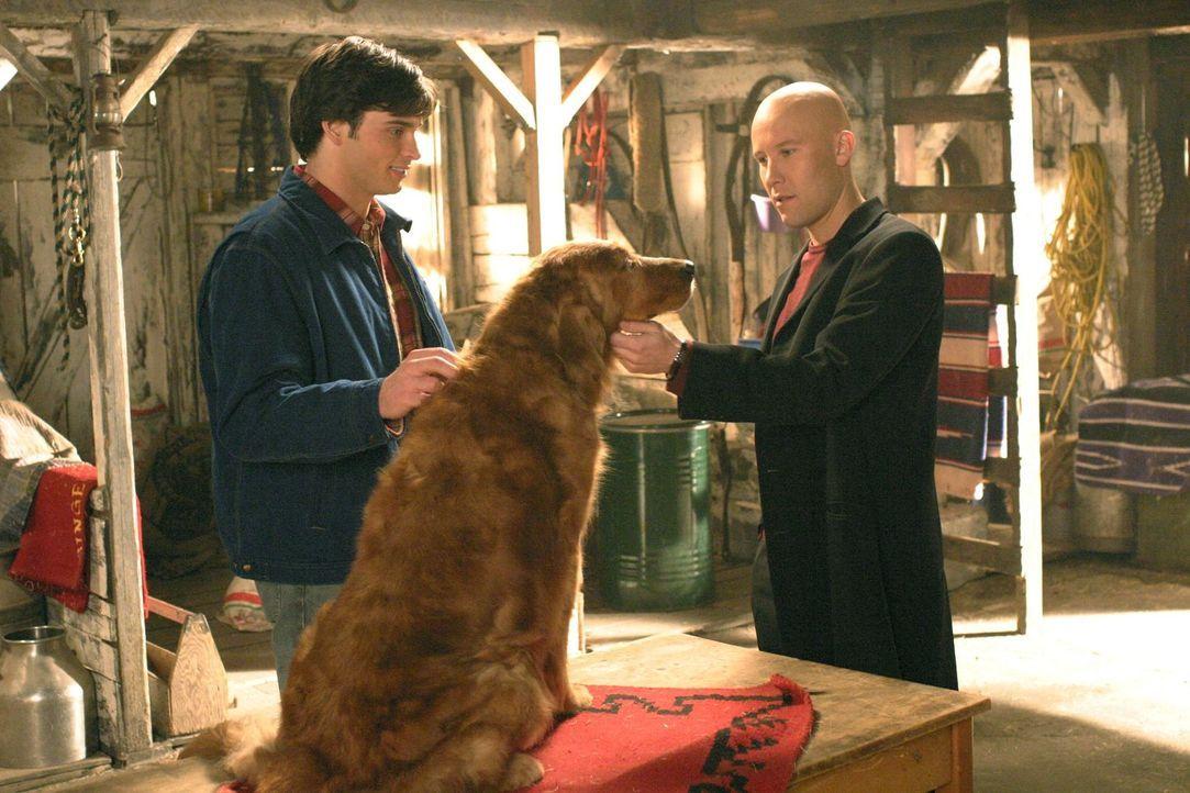 Als Clark (Tom Welling, l.) Lex (Michael Rosenbaum, r.) nach den Tier-Experimenten bei Luthor Corp. fragt, schiebt dieser alle Schuld auf seinen Vat... - Bildquelle: Warner Bros.