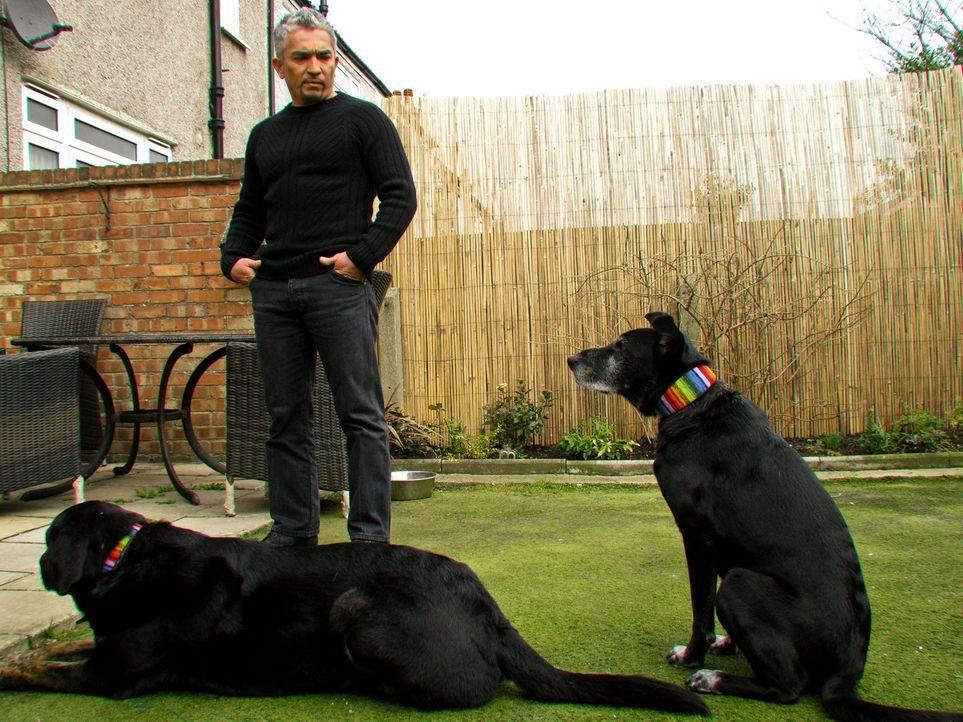 Cesar ist auf großer Hundeflüsterer-Mission quer durch Großbritannien: Sally hat große Probleme mit ihrem Hund Herbie. Er hat bereits einige Men... - Bildquelle: 2014 Rive Gauche Television. All rights reserved.