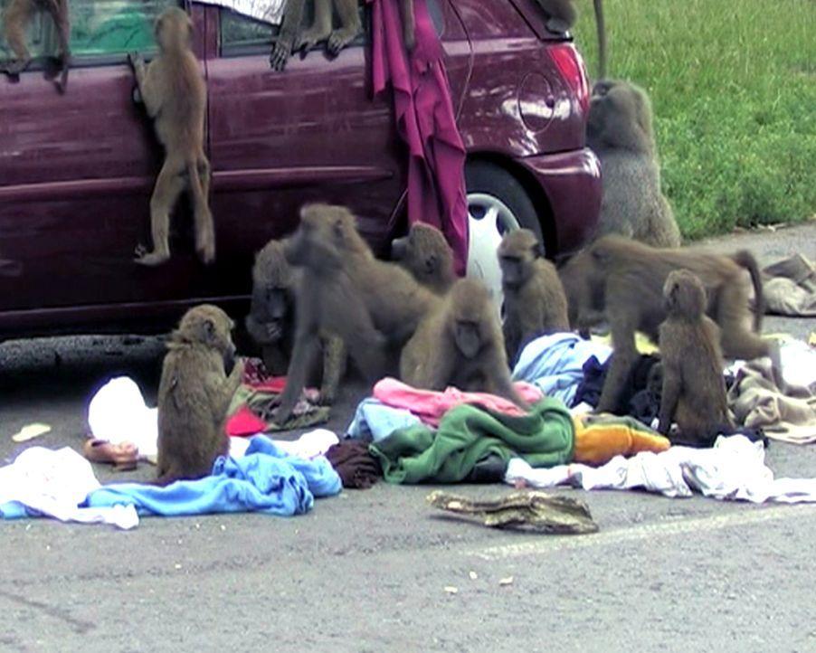 Angriff der Affen: Die Paviane in einem britischen Tierpark überfallen ein Besucherauto und räumen alle ihre Kleidung aus ... - Bildquelle: 2011, The Travel Channel, L.L.C.