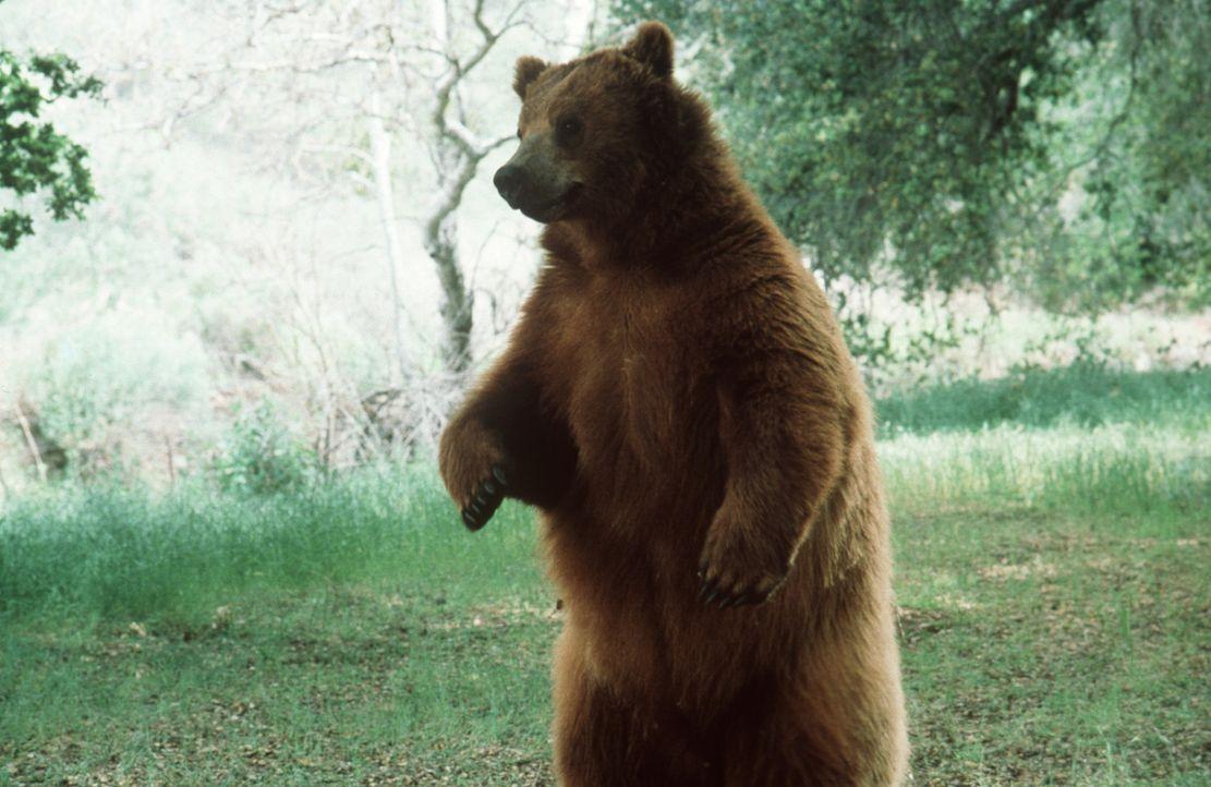 Wenn ein Bär sich bedroht fühlt oder um die Sicherheit seiner Jungen fürchtet, geht er zum Angriff über. Ansonsten ist er ein friedliebendes Tie... - Bildquelle: Miracle Entertainment