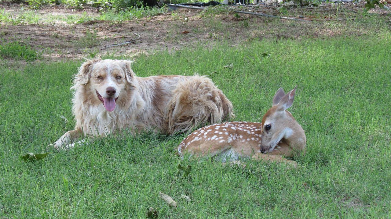 Ein Hund und ein Kitz werden zu unzertrennlichen Freunden, und die Lieblings... - Bildquelle: Miranda Stidham National Geographic Channels / Miranda Stidham