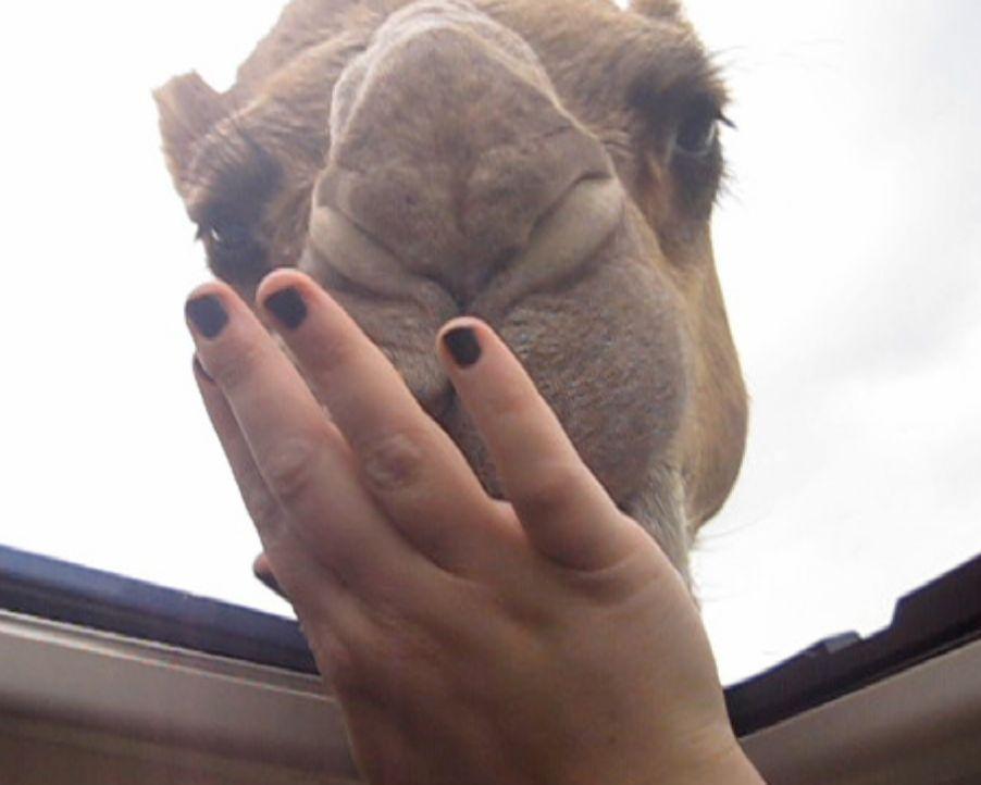Fressattacke mal anders: Während einer Autofahrt durch einen Safaripark, steckt ein Kamel seinen Kopf durch das offene Panorama-Fenster der Park-Bes... - Bildquelle: 2012, The Travel Channel, L.L.C. All Rights Reserved.