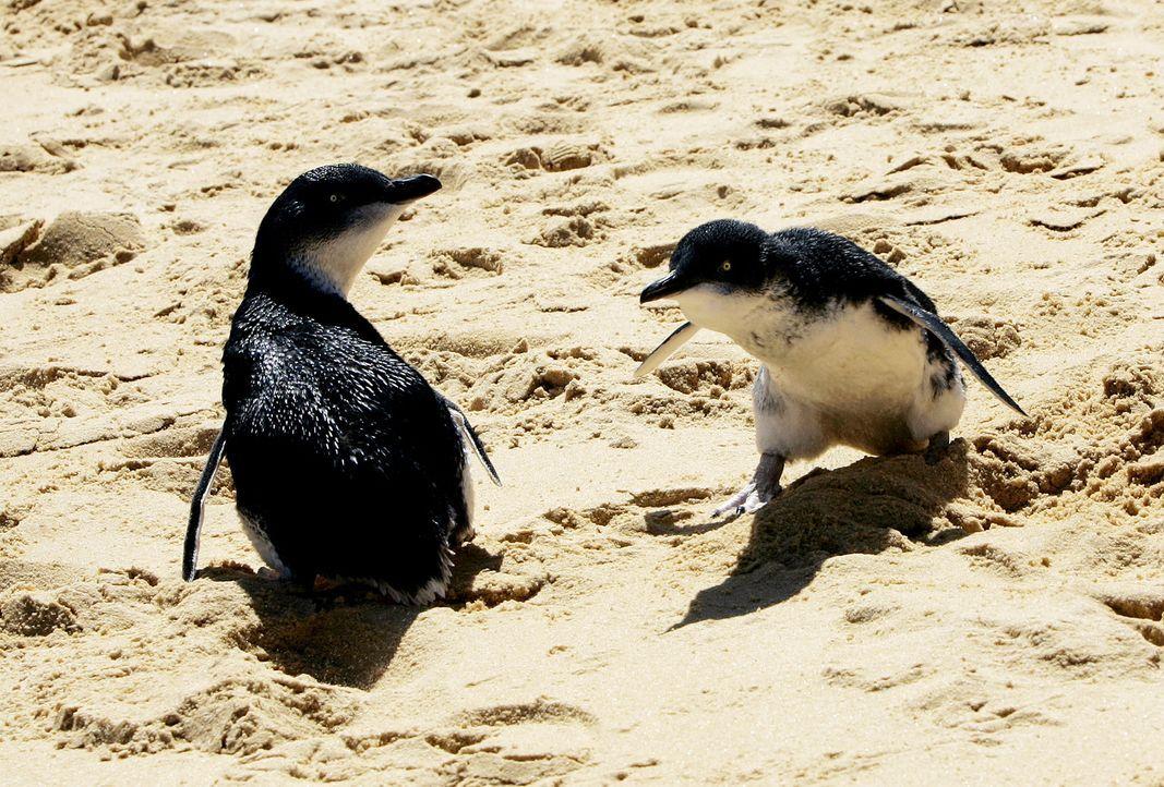 Tierarzt Dr. Chris Brown  hilft heute Pinguinen in Not ... - Bildquelle: WTFN Entertainment