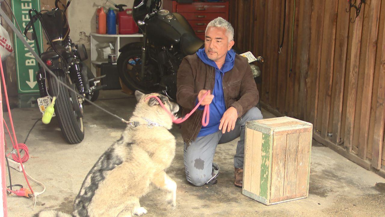 Zwei Freunde von Cesar (Bild) bitten ihn um Hilfe: Ihr Hund Amigo macht Besuche fast unmöglich. Kann Cesar dem Hund das ständige Bellen und Herumren... - Bildquelle: NGC/ ITV Studios Ltd