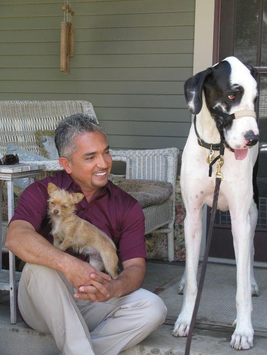 Familie Moore hat große Probleme mit ihrer 65 Kilo schweren Deutschen Dogge Bacchus. Kann der Hundeflüsterer Cesar Millan (Bild) helfen? - Bildquelle: Rive Gauche Intern. Television