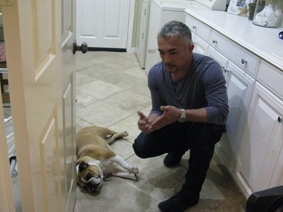 Die junge Bulldogge Stella macht ihren Besitzern das Leben schwer. Cesar gibt sein Bestes, um aus dem Problemkind ein folgsames Tier zu machen ... - Bildquelle: Ryan Cass MPH - Emery/Sumner Joint Venture