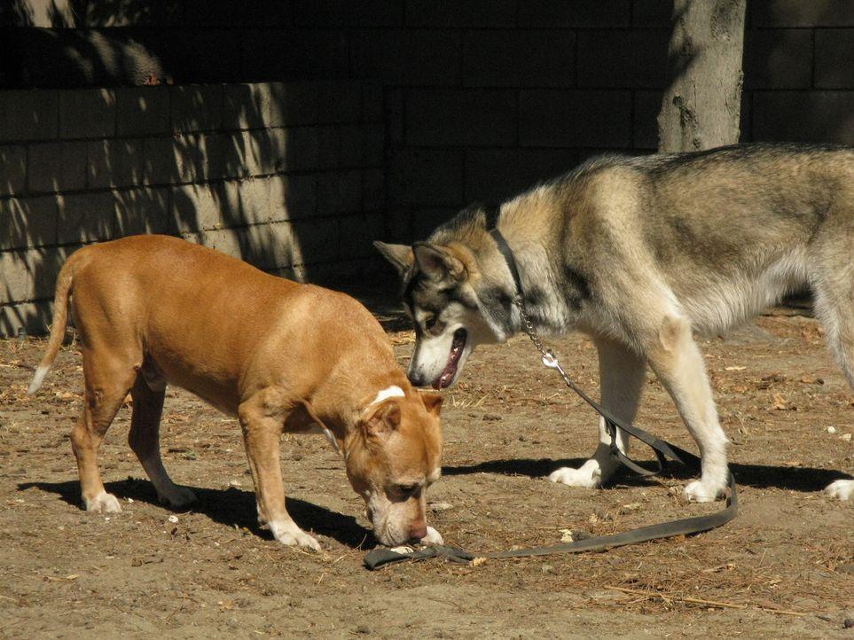 (6. Staffel) - Cesar Millan gibt keinen Hund auf ... - Bildquelle: Rive Gauche Intern. Television