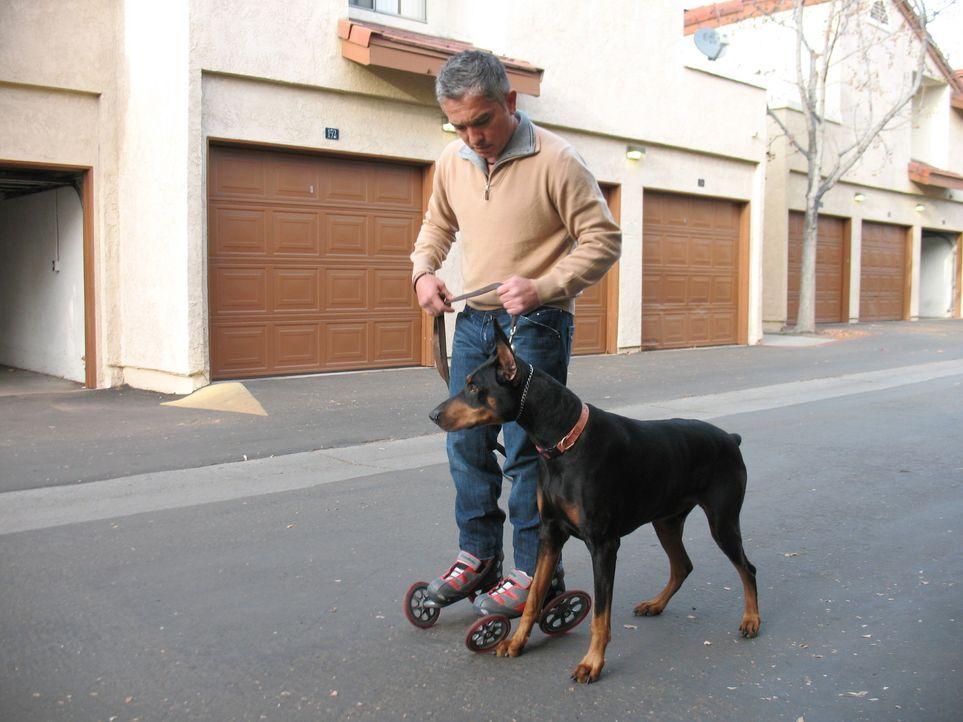 Der einjährige Dobermann-Mischling ist aggressiv und angriffslustig. Kann Hundeflüsterer Cesar Millan den Hund zur Vernunft bringen? - Bildquelle: Rive Gauche Intern. Television